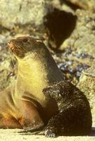 In Namibia werden zwei Kolonien der Südafrikanischen Seebären wie diese (der wissenschaftliche Name lautet Arctocephalus pusillus, es ist eine Ohrenrobbenart) bejagt. Bild: IFAW