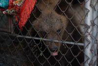 Bärenjunge Bodia vor seiner Rettung. Bild:  (C) VIER PFOTEN, Olena Trofimchuk