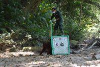 Zehn Orang-Utans fliegen mit dem Helikopter in die Freiheit  Bild: BOS Deutschland e. V. Fotograf: BOS Foundation