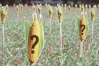Symbolbild Gen-Mais: Welche Folgen hat die Gentechnik im Maiskolben genau?  Bild: Martin Langer / Greenpeace