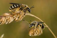 Wildbienen (Apiformes)