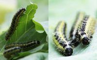 Einige Raupen, wie die des Großen Kohlweißlings (Pieris brassicae), verursachen drastische Schäden an Kohlpflanzen, da sie sich im Laufe der Evolution perfekt an deren Abwehrstoffe angepasst haben. Quelle: Hanna Heidel-Fischer / Max-Planck-Institut für chemische Ökologie (idw)
