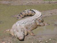 Das Leistenkrokodil (Crocodylus porosus), auch Salzwasserkrokodil oder Saltie genannt, ist das größte heute lebende Krokodil, gefolgt vom Nilkrokodil.
