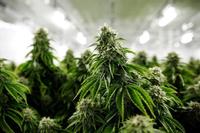 Cannabis (Symbolbild)