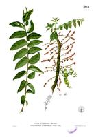 Illustration von Phyllanthus acidus