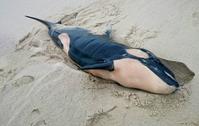Am Strand von Rantum auf Sylt wurde am 8. Februar ein Schwertwal gefunden. Bild: C. Dethlefs
