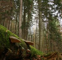 In Waldreservaten - hier Leihubelwald - gibt es sehr viel totes Holz. An liegenden Stämmen wachsen grosse Konsolenpilze. Quelle: Reinhard Lässig (WSL) (idw)