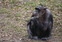 Schimpansen, die innerhalb der ersten beiden Lebensjahre von ihren Müttern getrennt wurden, sind noch Jahrzehnte später in ihrem sozialen Fellpflegeverhalten eingeschränkt. Quelle: Copyright: Jorg Massen (idw)