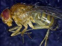 Auch ein dank Zelltherapie verlängertes Leben ist irgendwann zu Ende: ein totes Exemplar der Fliege Drosophila melanogaster. Quelle: Institut für Zellbiologie (idw)