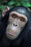 Haarige Helfer: Die neuen Studien haben gezeigt, dass die Schimpansen wie der Mensch altruistisches Verhalten zeigen.  Bild: Max-Planck-Institut für evolutionäre Anthropologie