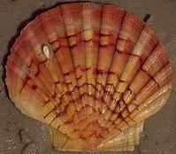 Linke Schale der Großen Pilgermuschel (Pecten maximus)