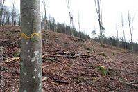 Kahlschlag eines etwa 150-jährigen Buchenmischwaldes in der Abteilung Rosselbrunn, BaySF Forstbetrieb Rothenbuch Bild: Klaus Radetzki / Greenpeace (pressrelations)