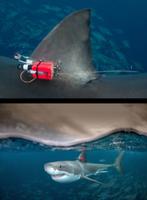 Weißer Hai mit Transponder: Touristen lenken Tiere ab.