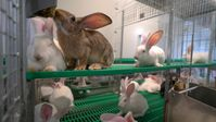 """Kaninchen im neu entwickelten Haltungssystem. Bild: """"obs/Kaufland"""""""