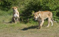 Zwei Löwenweibchen im Massai Mara Wildreservat