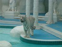 Ein weißer Tiger am The Mirage in Las Vegas. Bild: Johnwalton