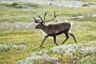 Rentier nahe dem Kebnekaise in Lappland, Schweden