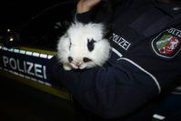 Die Polizei nahm das Kaninchen vorübergehend in ihre Obhut. Nun wartet es im Tierheim Bettikum auf seinen rechtmäßigen Besitzer. Bild: Polizei Rhein-Kreis Neuss