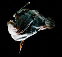 Ein weiblicher Tiefseeanglerfisch der Spezies Melanocetus johnsonii von etwa 75 mm Größe ist mit einem 23,5 mm großen Männchen am Bauch verschmolzen.