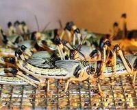 TUM-Forscher entwickeln Futtermischung für Insekten.