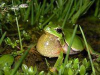 Der Östliche Laubfrosch (Hyla orientalis) besiedelte die nördlichen Breiten nach der letzten Eiszeit Quelle: Christophe Dufresnes (idw)