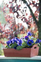 "Das Stiefmütterchen erhellt den Herbst. Bild: ""obs/Blumenbüro"""