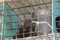 Unerträgliche Qualen bei Nerz-Transporten. Bild: Animals' Angels