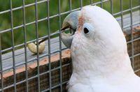 Der Kakadu Figaro baut sich sein Werkzeug selbst, um an die Nuss zu gelangen. Quelle: Foto: Alice Auersperg (idw)