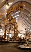 Nachbildung des rekonstruierten Skeletts von Argentinosaurus huinculensis, gezeigt im Rahmen einer Sonderausstellung im Senckenberg Naturmuseum, Frankfurt am Main. Die Fossilien dieses Titanosauriers stammen aus der frühen Oberkreide und wurden in der argentinischen Provinz Neuquén gefunden. Argentinosaurus huinculensis ist der gegenwärtig größte bekannte Sauropode mit einer Gesamtlänge von 38 Metern und einem geschätzten Gesamtgewicht von 75 Tonnen.
