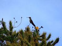 Kolibri auf einem Baum: wählt artenreiche Route. Bild: pixelio.de, rebel