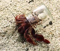 Einsiedlerkrebs: Glas statt Gehäuse. Bild: FlickrCC/jenny downing