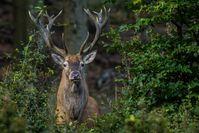 """Künftig sollen Waldbesitzer und Jäger freie Hand hinsichtlich der Zahl der zu tötenden Hirsche und Rehe haben. Bild: """"obs/Wildtierschutz Deutschland e.V./Mirko Fuchs / Wildtierschutz D"""""""