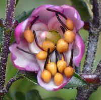 Eine Blüte von Axinaea affinis. Die gelben kugelförmigen Staubblattanhängsel (Blasebalg-Organe) erze Quelle: Copyright: Agnes Dellinger (idw)
