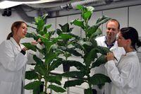 Dirk Prüfer und seine Kolleginnen Gundula Noll (re.) und Lena Harig (li.) mit ihrem Tabak im Jungstadium. Quelle: © Fraunhofer IME (idw)