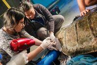 Verletzte Schildkröte während der Operation. Bild: universityofcalifornia.edu