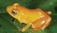Nicht farbecht: Der Frosch Diasporus citrinobapheus– neu entdeckt von Senckenberg-Wissenschaftlern. Quelle: © Senckenberg (idw)