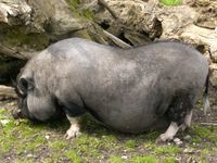 Hängebauchschwein im Tiergarten Ulm