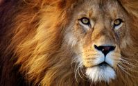Löwe (Symbolbild)