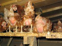 Geflügelmast: Hennen mit kahlen Stellen in einer Bodenhaltung