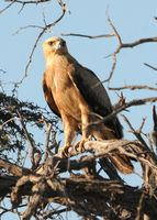 Adler ( Aquila rapax)