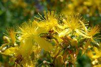 Johanniskraut: eine der vielen Blütenpflanzen, die asexuelle Fortpflanzung in natürlichen Populationen zeigen. Quelle: Foto: Timothy Sharbel (idw)