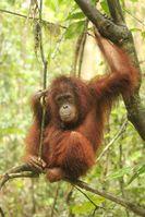Orang-Utan-Waise Casey in Freiheit. Bild: Vier Pfoten