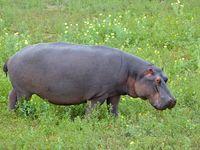 Flusspferde leben heute noch auf etwa 3 Prozent der Fläche auf der sie einst lebten.