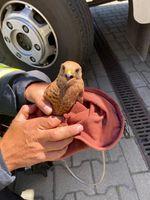 Die LG Langern rette diesen Falken aus der Abgasanlage einer Verdichter-Turbine Bild: Feuerwehr