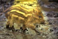 Obwohl Experten keine Gefahr in Wildschweinen sehen, wollen einige Interessenverbände diese an den Rand der Ausrottung drängen (Symbolbild)