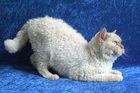 Katze der Rasse Selkirk Rex Quelle: Foto: Vetmeduni Vienna/Filler (idw)