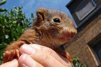 Dieses Eichhörnchen wurde in die Wildtierstation Hamburg gebracht . Bild: VIER PFOTEN