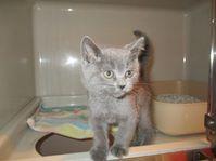 Katzenwinzling mit blauen Augen