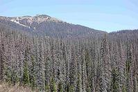 Großflächiges Fichtensterben (Picea engelmanni) im Wolf Creek Pass in Colorado, USA Quelle: Bildquelle:  (C) Craig Allen, USGS, Los Alamos, USA (idw)