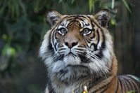 Palm-Öl gefährdet den Lebensraum der Sumatra-Tiger